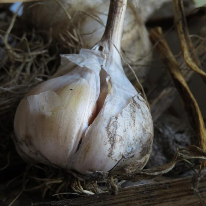 Gedroogde knoflook - eigen oogst